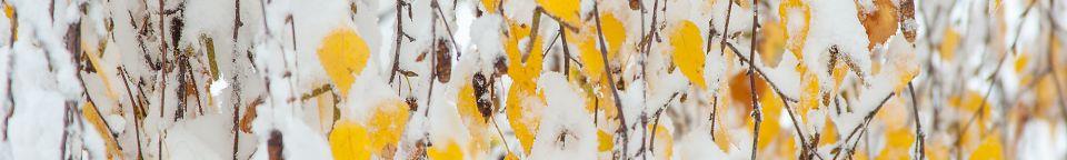 Hänge-Birke (Betula pendula) © Torsten Pröhl/fokus-natur.de