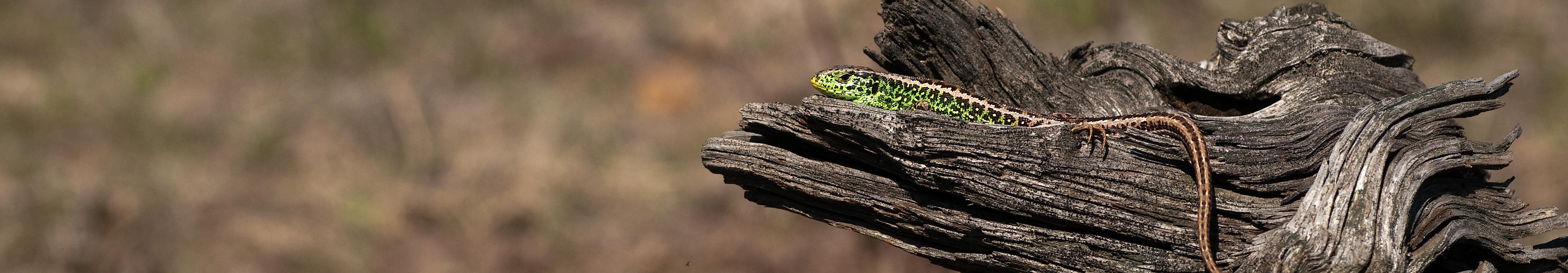 Zauneidechse (Lacerta agilis) © Frank Leo/fokus-natur.de