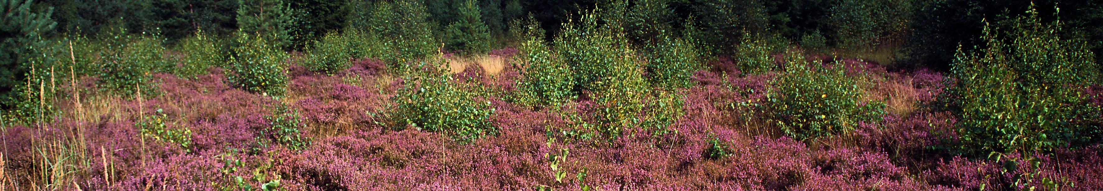Heide im Pöllwitzer Wald © Frank Leo/fokus-natur.de